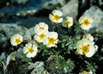 Is-Ranunkel (Ranunculus glacialis)